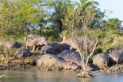 Herd of hippos sleeping, Isimangaliso Wetland Park, South Africa Royalty Free Stock Images