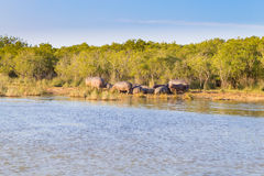 Herd of hippos sleeping, Isimangaliso Wetland Park, South Africa Royalty Free Stock Photography