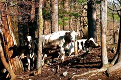Herd of dairy Holsteins gathers in a woods