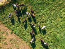 Herd of Holstein Friesian cows grazing on green pasture