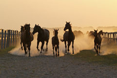 The herd of horse evening time in the rays of a calling sun Royalty Free Stock Photography