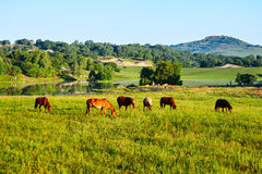 The herd horse on the green prairie Royalty Free Stock Image
