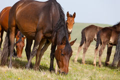 Herd of horse Royalty Free Stock Image