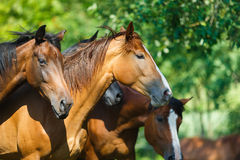 Herd of horse on the meadow Royalty Free Stock Photos
