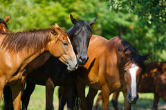 Herd of horse on the meadow. At summer time Royalty Free Stock Photos