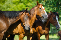 Herd of horse on the meadow Royalty Free Stock Image