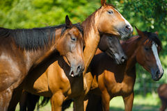 Herd of horse on the meadow Stock Photo