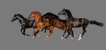 Herd of horse run gallop. Four horse run gallop isolated on grey background Stock Image