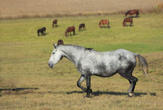 Herd of horses Royalty Free Stock Photos