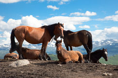 A herd of horses Stock Images