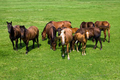 Herd of horses Stock Photos