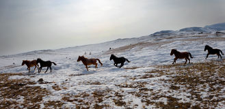 A herd of horses. Baikal, Olkhon Royalty Free Stock Photography