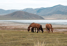A herd of horses Royalty Free Stock Photos