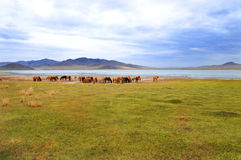 A herd of horses Royalty Free Stock Images