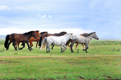 A herd of horses Royalty Free Stock Photography