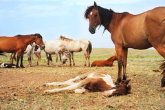 Herd of horses. Have a rest in the field Royalty Free Stock Photo