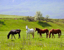 Herd of horses. Pasture in a valley with green hill and mountain on background Stock Photo