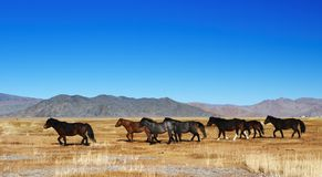 Herd of horses. In mongolian desert royalty free stock photos