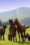 Herd of horses. In the Carpathian Mountains - Romania Royalty Free Stock Photo
