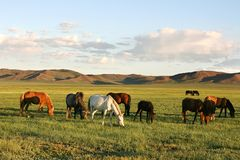 Herd of horses. In the mongolian prairie stock images