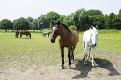 Herd of horses against green back ground. Herd of horses against beautiful green back ground Stock Images