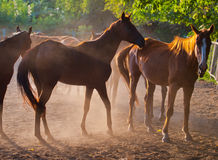 Herd of horses Stock Photography