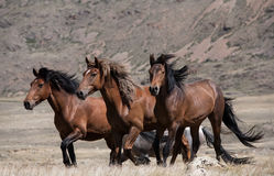 Herd of horses on a background of mountains stock images