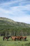 Herd of horses Stock Photo