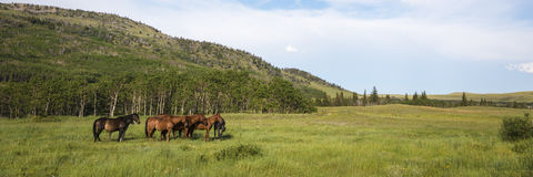 Herd of horses. Herd of bay colored horses in mountain pasture royalty free stock images
