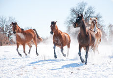 Herd of horses charging in snow Royalty Free Stock Photography