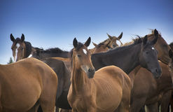 Herd of horses close up Royalty Free Stock Images