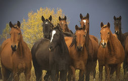 A herd of horses close up Stock Images