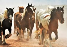 Herd of Horses. In Colorado Royalty Free Stock Photography