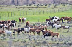 Herd of Horses. In Colorado Royalty Free Stock Images