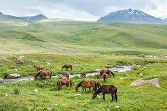Herd of horses with colts Royalty Free Stock Images