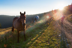 Herd of horses with colts grazing in mountains Royalty Free Stock Image
