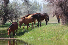 Herd of horses comes in small river stock photo