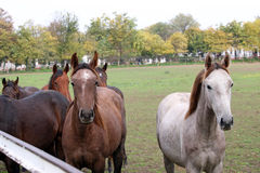 Herd of horses in corral Royalty Free Stock Photo
