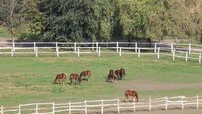Herd of horses in corral stock video footage