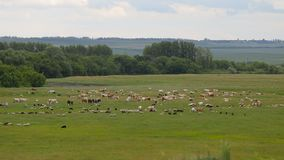 A herd of horses, cows, sheeps on a summer pasture. A herd of sheep on a green meadow stock video