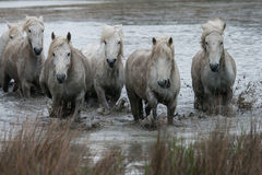 Herd of horses. A herd of horses crossing the marshes in the camargue in southern france stock image