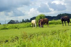Herd of different horses grazing in green field Royalty Free Stock Images