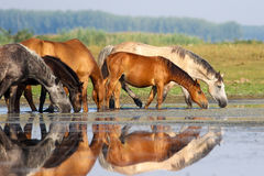 Herd of horses is drinking water on meadow. Herd of horses is drinking water on watering place stock photography