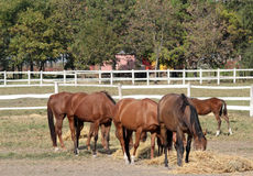 Herd of horses eat hay Royalty Free Stock Photography