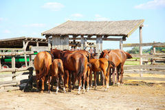 Herd of horses eating dry hay in the summer corral Royalty Free Stock Photos