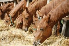 Herd of horses eating dry hay in summertime rural scene Stock Photos