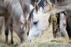 Herd of horses eating hay. Stock Images