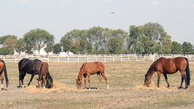 Herd of horses eating hay Stock Photo
