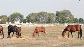 Herd of horses eating hay stock video