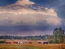 Herd of horses in evening field Stock Photography
